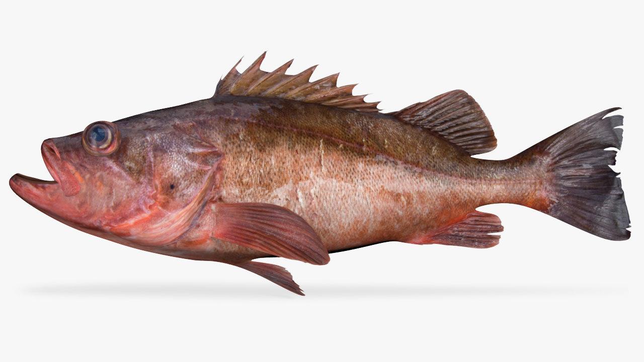 3D bocaccio fish model