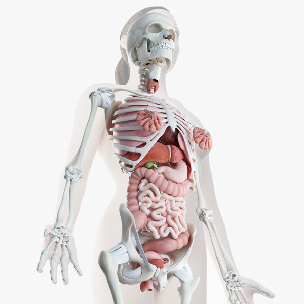 3D model female skin skeleton organs
