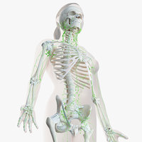 female skin skeleton lymphatic 3D