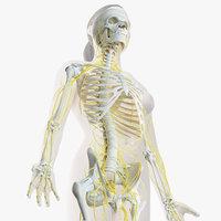 3D female skin skeleton nerves model