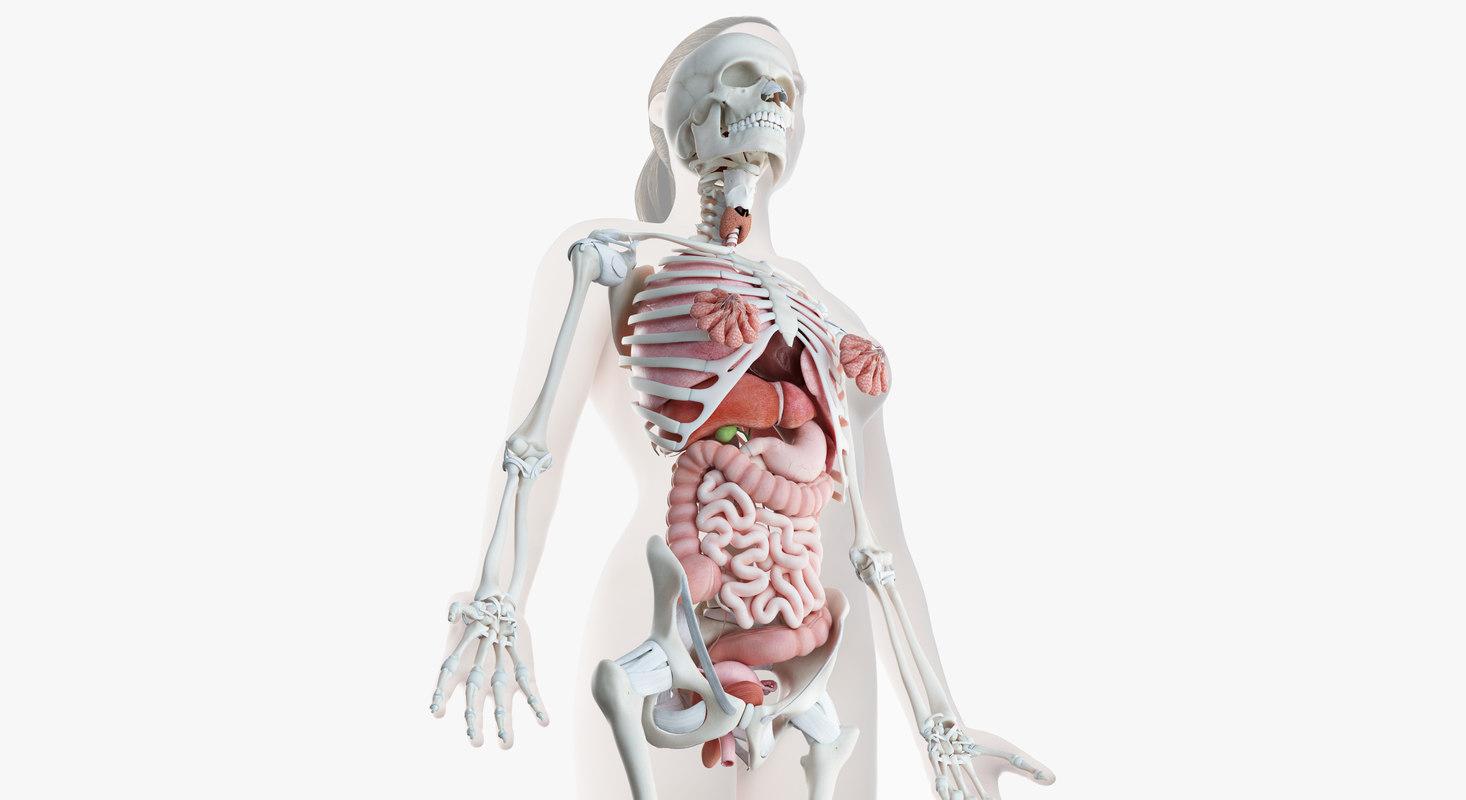 3D model female skin skeleton organs