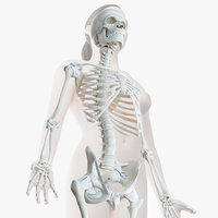 3D female skin skeleton ligaments