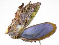 3D model sea shell syria