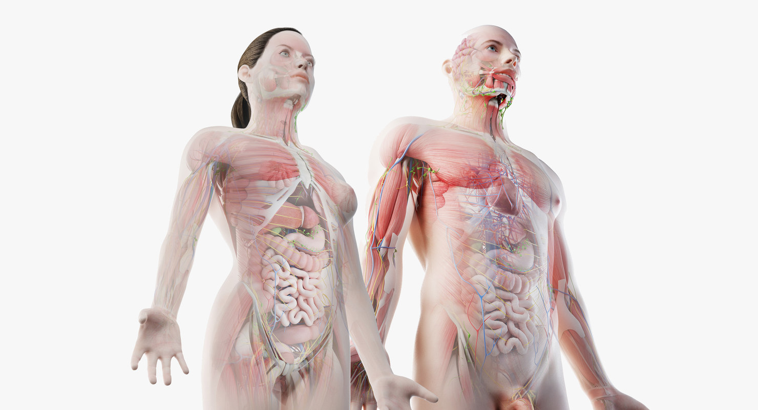 3D male female anatomy set model