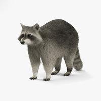 raccoon coon 3D model