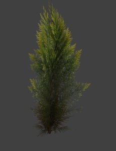 3D conifer tree model