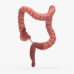 3D human large intestine anatomy