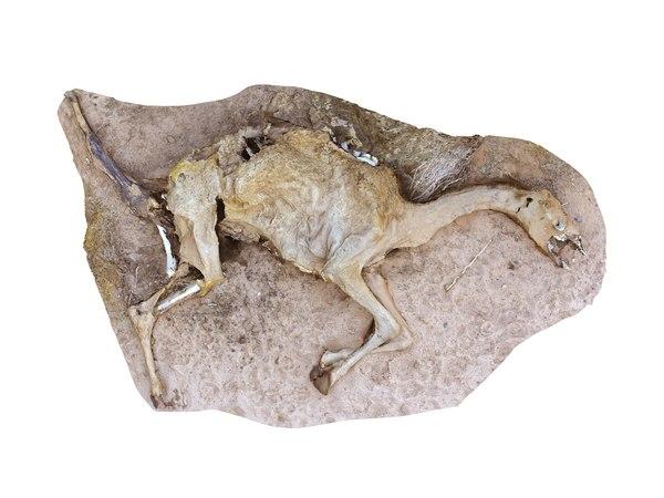 3D camel skeleton - real