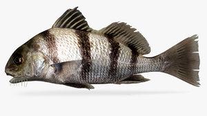 3D model black drum fish