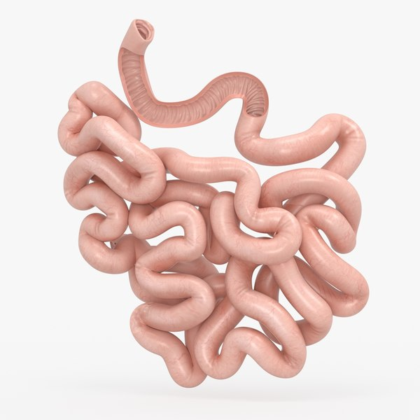 3D model small intestine anatomy