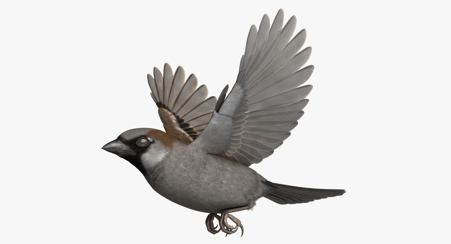 3D rigged house sparrow