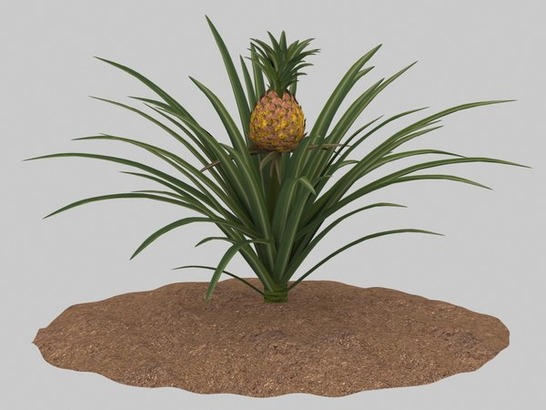 3D pineapple growing model