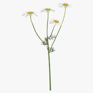 3D matricaria chamomilla white yellow model