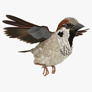 3D house sparrow rigged