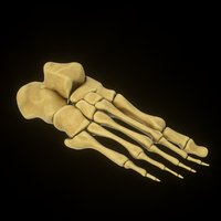 human foot bones 3D model