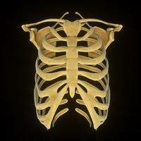 3D rib scapular skeleton model