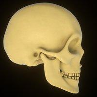 3D model human skull teeth