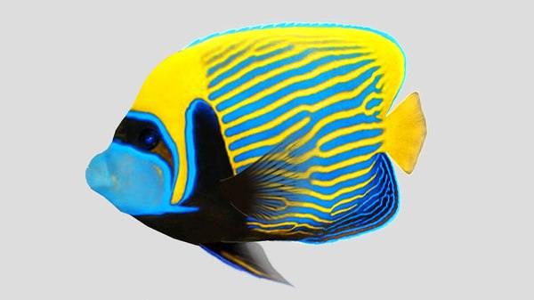 3D emperor angel fish