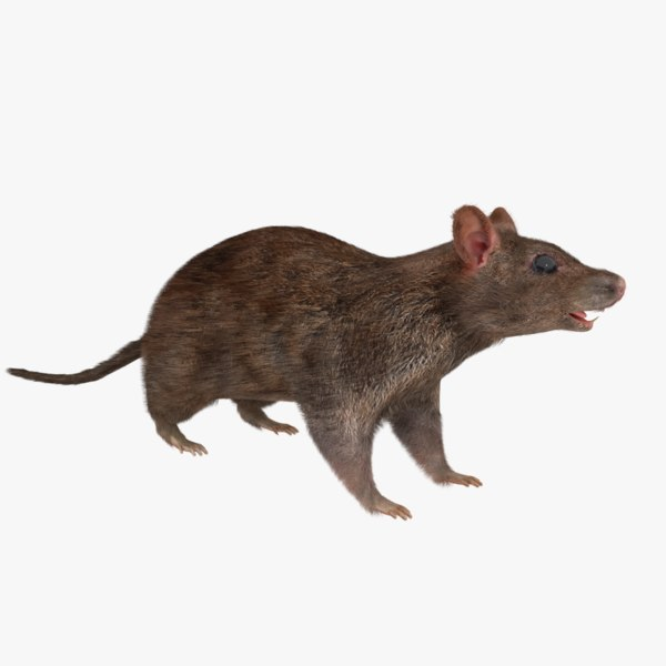 3D real rat rigged realistic