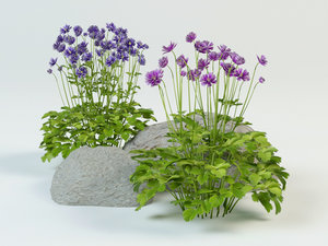 aquilegia vulgaris 3D model