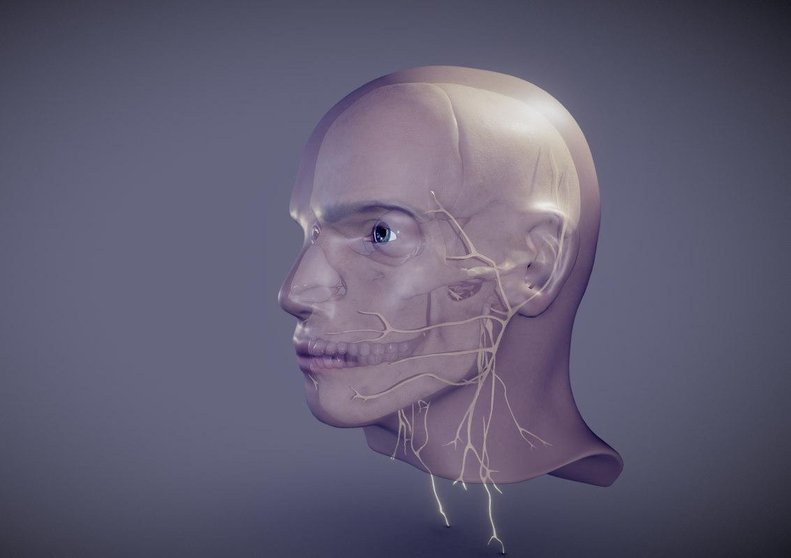 cranial nerves 3D model