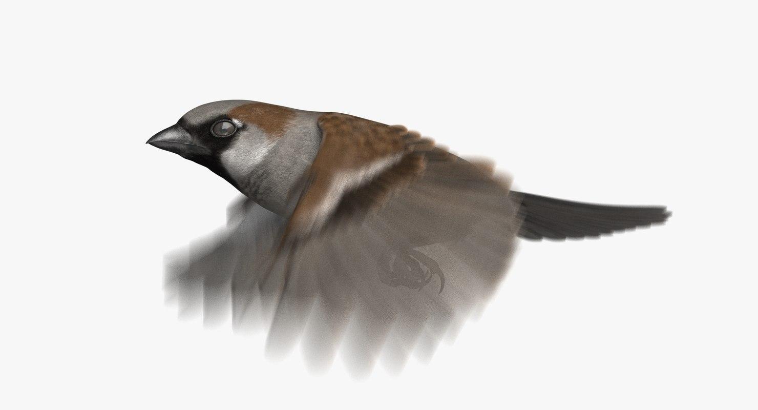 3D house sparrow animation model