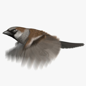 3D house sparrow animation model