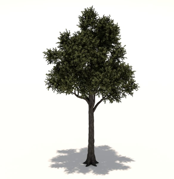 3D cupressaceae tree
