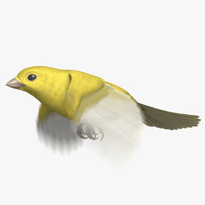 domestic canary animation 3D model