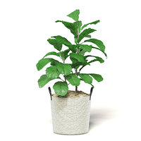 fig plant wicker 3D