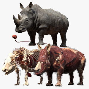 rhino anatomy model