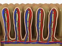 intestinal villi model