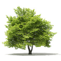 trees deciduous american 3D model