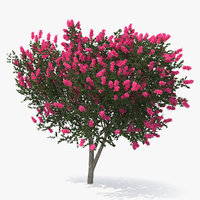 evergreen small tree myrtle 3D model