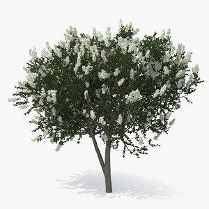 3D myrtus myrtle tree model