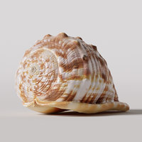 cypraecassis rufa seashell model