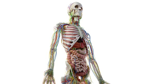 Anatomy 3D Models for Download | TurboSquid