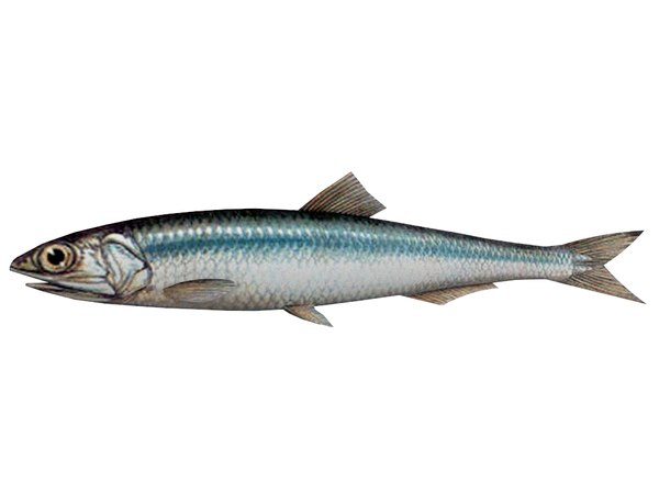 3D fish anchovy model