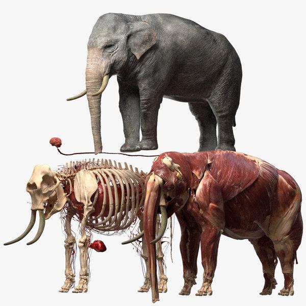 asian elephant anatomy 3D model
