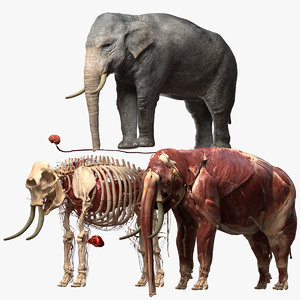 asian elephant anatomy 3D model