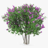 3D syringa vulgaris lilac shrub model