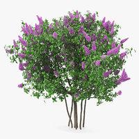 Syringa Vulgaris or Lilac Shrub