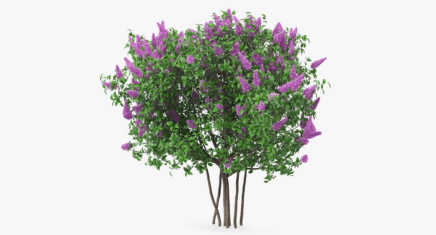 3D syringa vulgaris lilac shrub model