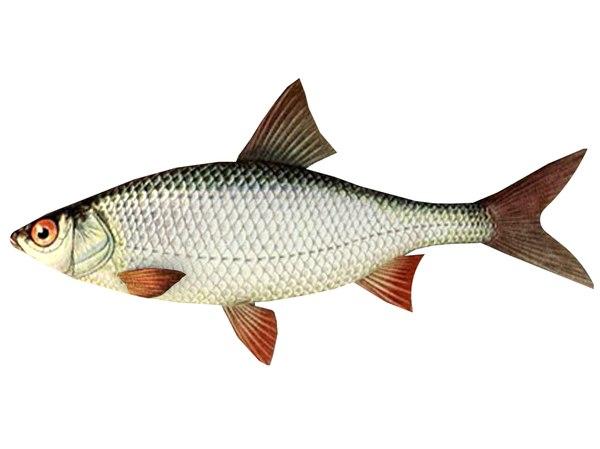 fish roach 3D model