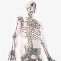 male skin skeleton rigged 3D model