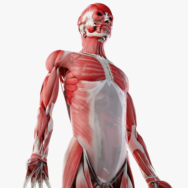 male skin skeleton muscles 3D