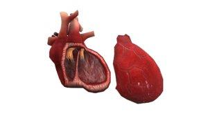 3D model oxygen heart