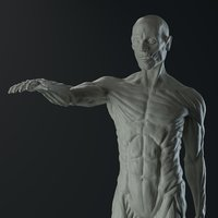 3D male anatomy body
