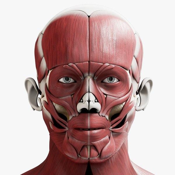 3D model male skeleton muscular