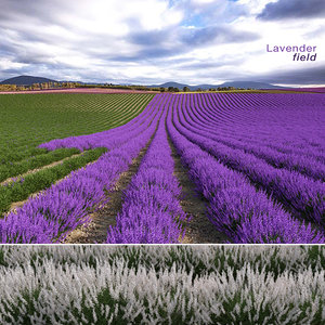 lavender field 3D model
